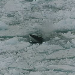 .::Rorcual Austral o Antártico Rorcual%20austral