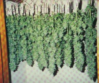 curado de marihuana
